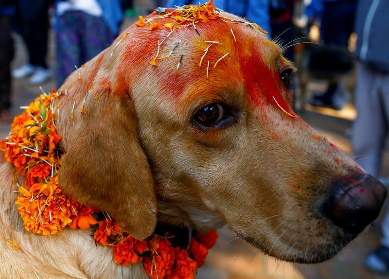 Festival hindú de Tihar y su veneración por los animales