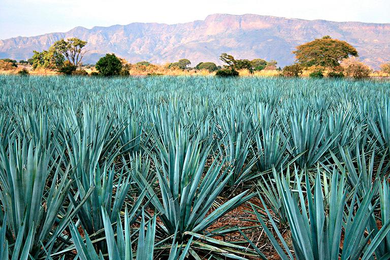 El tequila más allá de una bebida con denominación de origen