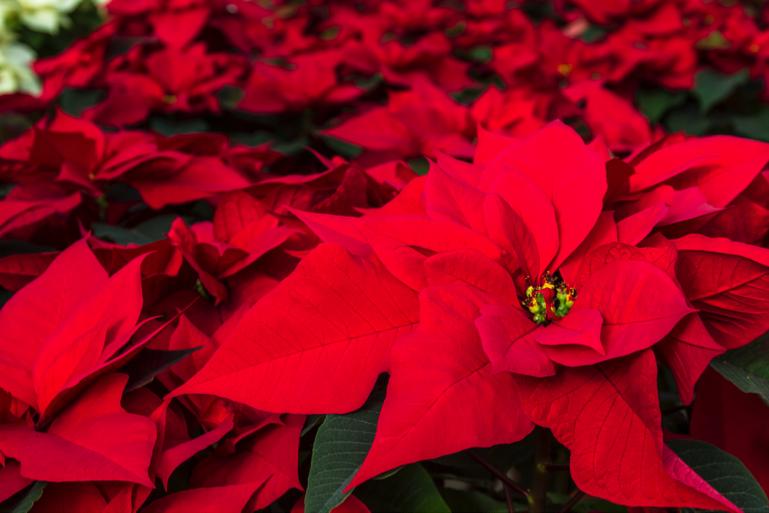 Flor de Nochebuena, orgullo de México