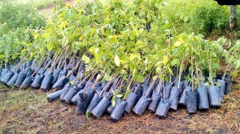 Reforestaci n sin nimo de culpa pero no de soluciones for Plano de un vivero forestal