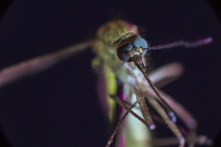 Sabías qué el mosquito es el mayor agente de muerte en la historia