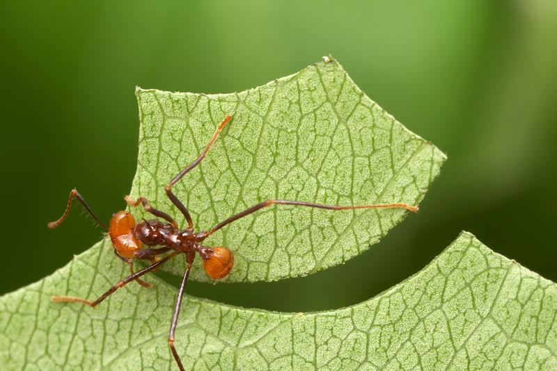 ¿Sabías qué … las hormigas pueden cultivar alrededor de 6 plantas?