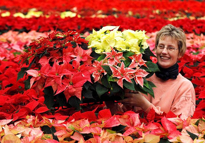 ALEMANIA - FLOR DE PASCUA :PON01 GOENNEBEK (ALEMANIA), 07.11.05.- La jardinera Stefanie Hodstein posa con varias plantas de flor de pascua (Euphorbia Pulcherrima) en Goennebek, Alemania, hoy lunes 7 de noviembre. Cerca de un millón de flores de pascua serán enviadas desde Goennebek este año, en su mayoría en colores rojo, rosa y ambos tonos. EFE/Wulf Plfeiffer